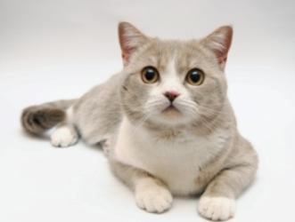 Голубые британские вислоухие котята 5 недель приучаем котят к лотку.
